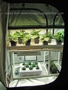 T5 Fluorescent over Drip System - Eggplant, Peppers, Etc