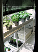T5 Fluorescent over Drip System - Eggplant Peppers Etc