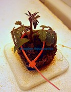 Tomato Seedling 1.15.12 Induction Light Trial