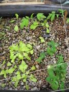 lettuce/peas/tomatoes