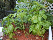 tomatoes, basil 3.3.12