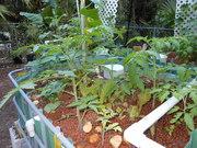 tomatoes, lettuce 3.3.12
