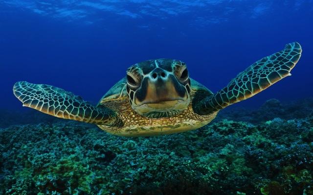 Underwater-Sea-turtle-wandering