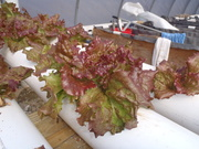 Red sail lettuce, nft