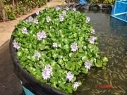 Water Hyacinths Blooming in Tilapia Growout Tank