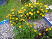 More marigold