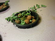 thriving raft pea plant