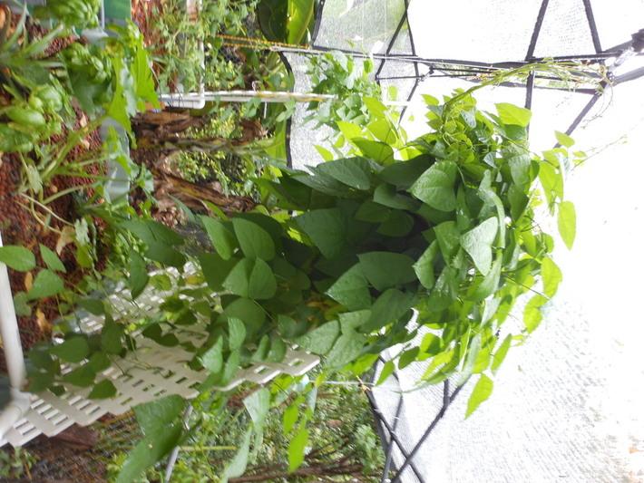 lima beans on trellis 6.22.112