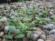 Ethiopian Kale July 2012
