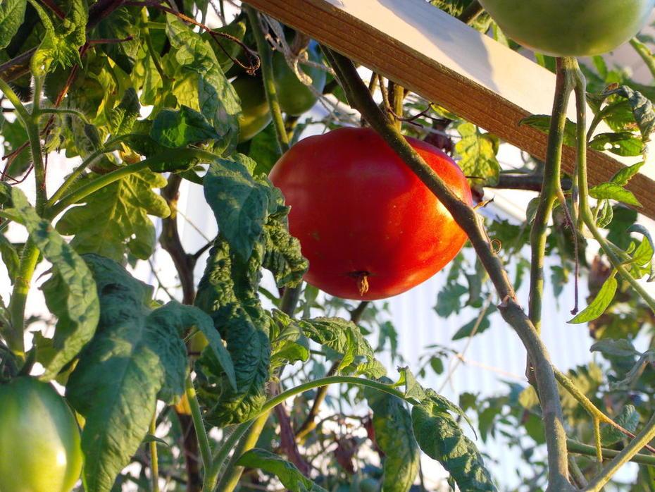 10-15-12 AP Tomatoes 002