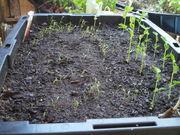 wickbed-peas&carrot
