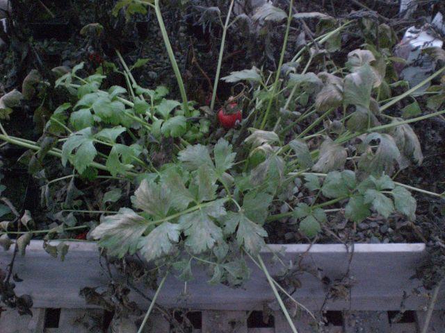 Celery in December