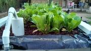 back view again - grow salad grow!!
