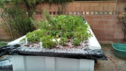 Hail int the grow bed