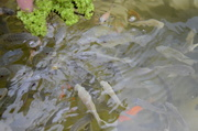 Fish about to eat Duck Weed