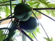 April112013 Papaya update
