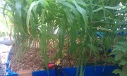 2013-05-growbed1