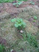 Largest Potato Plant