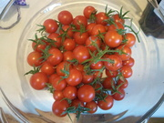 Second tomato harvest