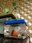 DIY Mini Aquaponic System -- Small in Size and Expense