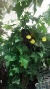 One plant one backyard, Luffa says give me a bigger backyard!!!
