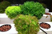 Jonny's amazing lettuce greens, soft and sweet