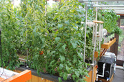 Some of the tomato vines (15 in total)
