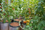 Some other tomatoes growing in buckets