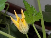 My zucchini flowers 031