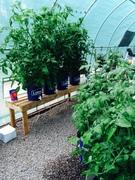 Tomatoes 15
