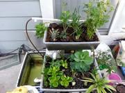 my mini aquaponics garden