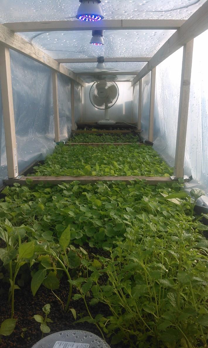 Experimental greenhouse licorice mint