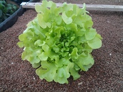 lettuce june 2015