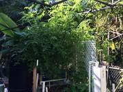 "Tomato ""tree"" from volunteer in the FL Keys"