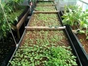 Licorice mint cuttings