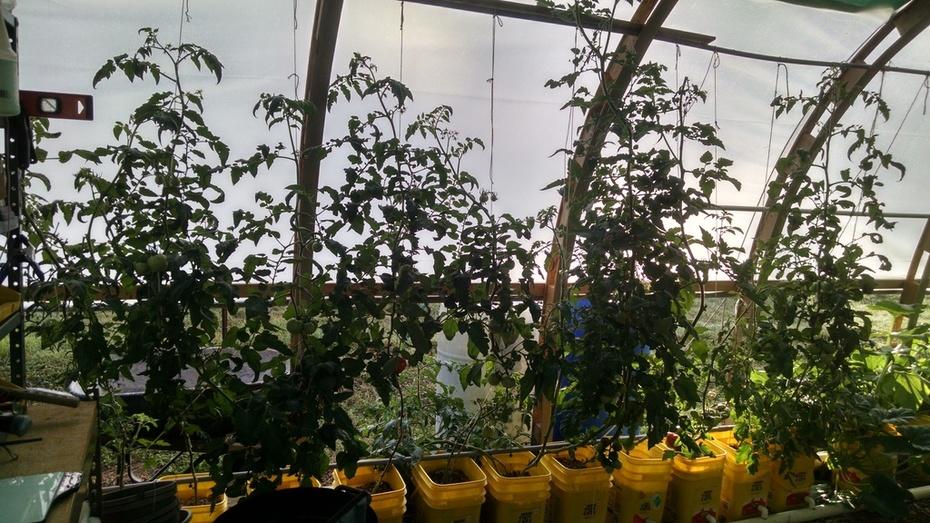 7/24/16 Tomatoes
