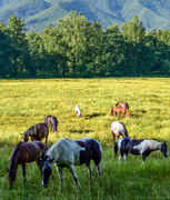 Horses in Cades cove, June 1 2019