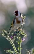 Φώς και χρώμα στον Κόσυνθο!((Καρδερίνα - Carduelis carduelis)