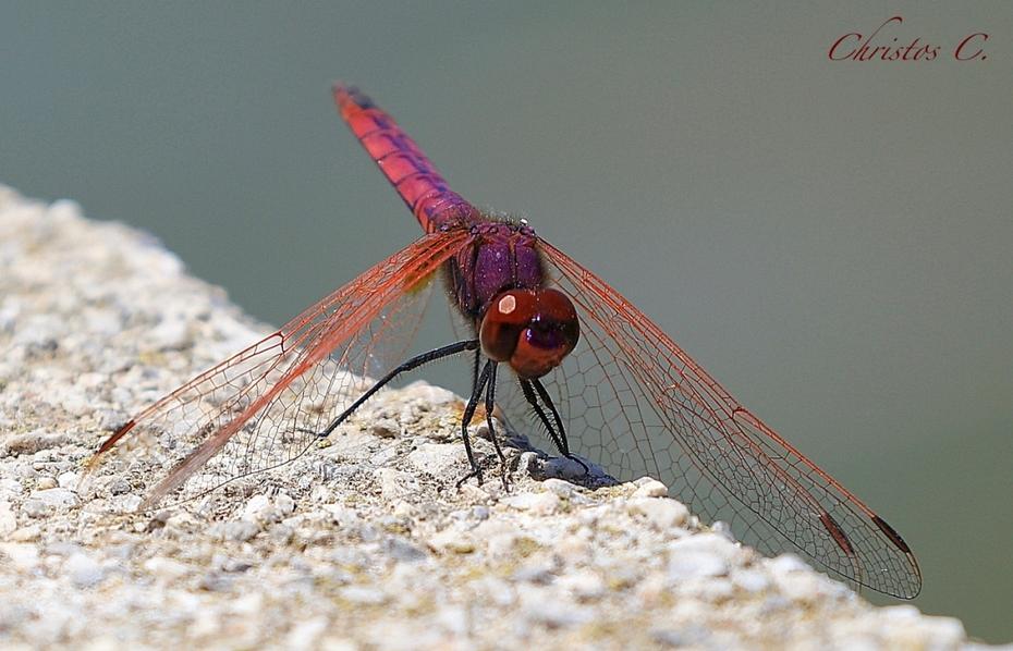 Dragonfly-Λιβελούλα