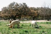 Alpaca Sheep
