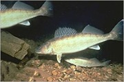 Walleye Wanna-bees (growers)