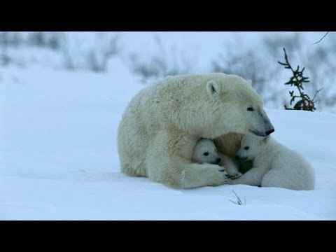 The Story of Inuit Boy and The Polar Bear