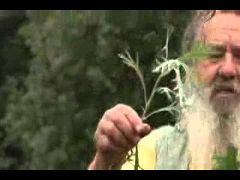Beifuss - Kräuter und Pflanzenkunde