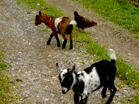 My first goats playing. 6/08