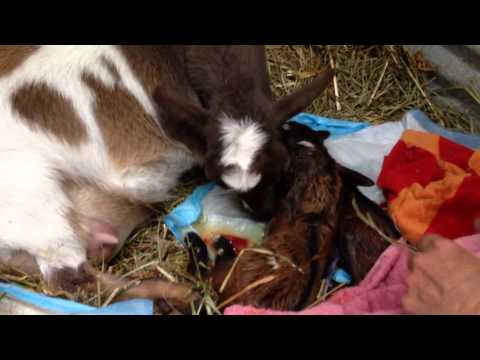 Nigerian Dwarf Goat giving birth
