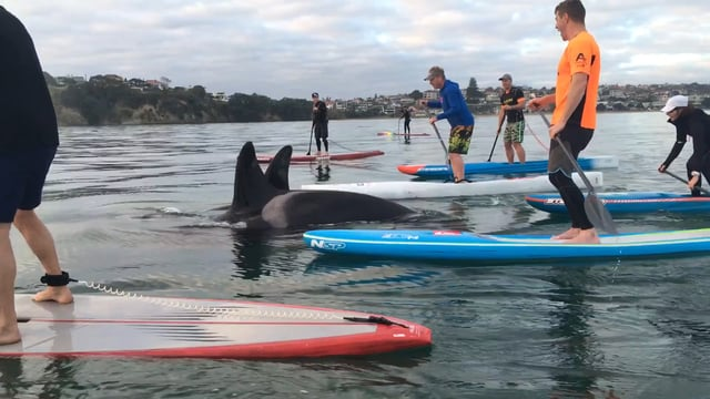 Wow! Paddleboarding with Orcas in Auckland Harbour