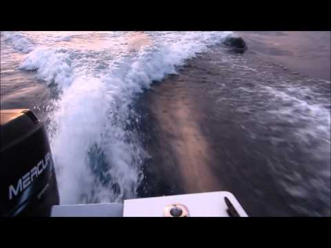 Must See : Killer Whales Chase Boat !!