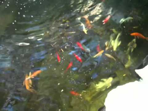 Koi & Goldfish enjoying an evening meal