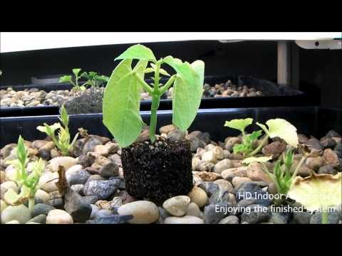 HD Indoor Aquaponics - Enjoying the fishined system, organic tilapia fingerling feed