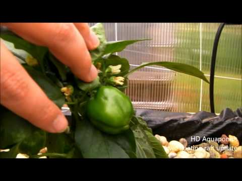 HD Aquaponics - Floating Raft system, DWC, growing sweet bells and habanero peppers